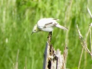 Aberrant Sedge Warbler, Marshside, 31.7.14