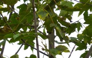 Eastern Crowned Warbler, Hunley Golf Course, 2.11.14