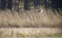 Great Grey Shrike, Marsh Farm, Formby, 3.11.14
