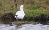"""""""Little White Goose"""" (aka Ross's Goose)"""