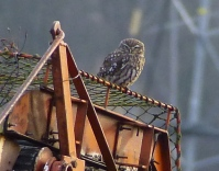 Little Owl, Banks, 18.1.15