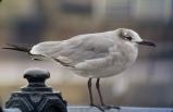 Laughing Gull, New Brighton, 9.3.15