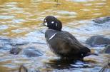 Harlequin Duck, Aberdeen, 24.3.15