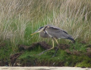Great Blue Heron, Bryher, 25.4.15