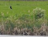 White Winged Black Tern, Martin Mere, 24.5.15