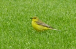 Yellow Wagtail, Curlew Lane, 24.5.15