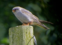 Red Footed Falcon, Chatterley Whitfield, 19.7.15