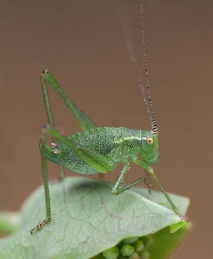 Putative Speckled Bush-Cricket