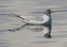 Sabine's Gull, Pennington Flash, 7.8.15