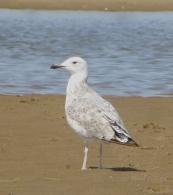 Caspian Gull, Ainsdale Beach, 17.8.15