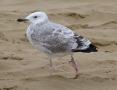 Caspian Gull, Ainsdale Beach, 6.9.15