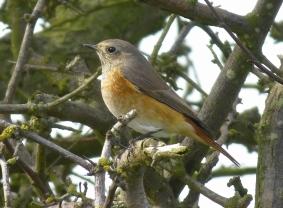 Redstart, Spurn, 13.9.15