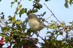 Barred Warbler, Sammy's Point, 27.9.15
