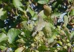Arctic Warbler, Kilnsea, 27.9.15
