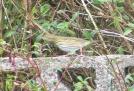 Olive Backed Pipit. Meep Meep. Toab, Shetland, 11.10.15