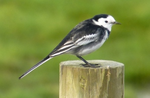 Pied Wagtail, Weld Road, 30.10.15