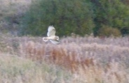 Blurry Short Eared Owl. Again.