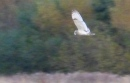 Another Short Eared Owl pic. Still blurry.