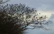 Fieldfare flock, Plex.