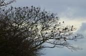 Fieldfare flock, Plex, 21.11.15