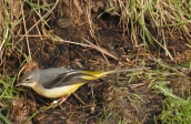 Grey Wagtail, Lunt, 13.12.15