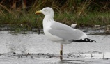 Herring Gull R4RS