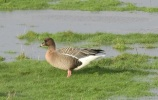 Pink Footed Goose