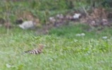 Hoopoe (almost, honest).