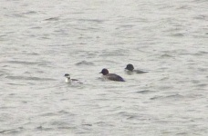Black Necked Grebe and Goldeneyes