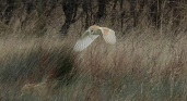 Barn Owl again.