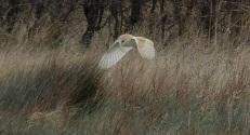 Barn Owl again.