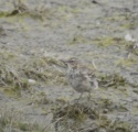 Water Pipit, Crossens Outer, 21/3/16
