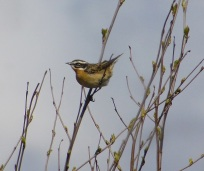Whinchat. Again.