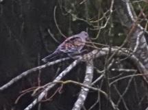 Western Rufous Turtle Dove