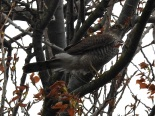 Female Sprawk