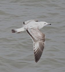 Caspian Gull (not Stumpy)