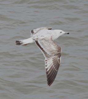 Caspian Gull (not Stumpy), Southport Pier, 8.5.16