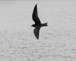 Black Tern silhouette 1