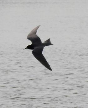 Black Tern silhouette