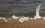 Royal Tern, Kerry, 31/8/16
