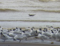 Juv Little Gull behind Sandwich Tern roost