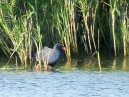 Western Purple Swamphen