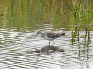 Lesser Yellowlegs, St Mary's, Scilly. 11.9.16