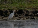 Cattle Egret still