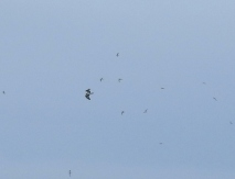 Osprey mobbed by Sandwich Terns