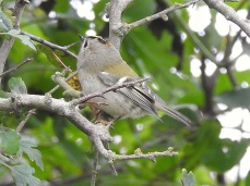 """Continental"" Goldcrest"