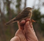 Dusky Warbler, Kilnsea, 14.10.16