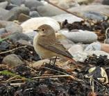 Redstart, Spurn, 14.10.16