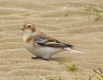 Another Snow Bunting, Southport beach, 27.10.16