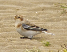 Another Snow Bunting